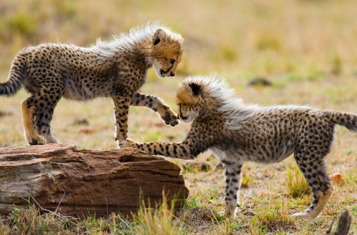 cheetah-cubs-play-with-each-other-in-the-savannah-kenya