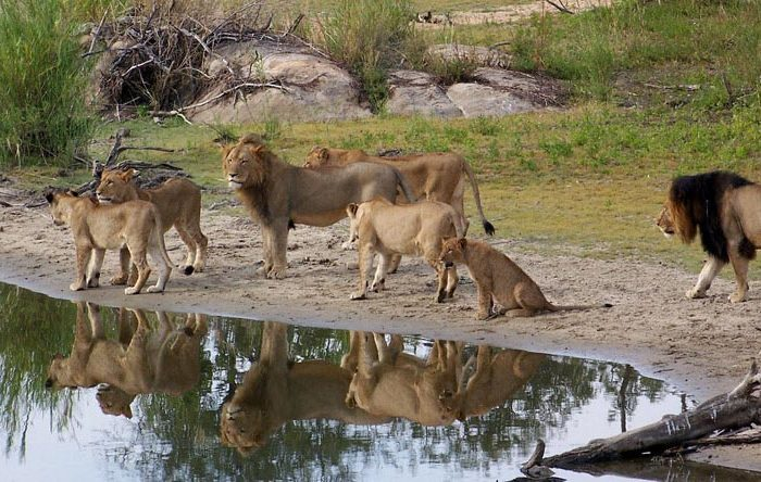 lions-at-water-hole