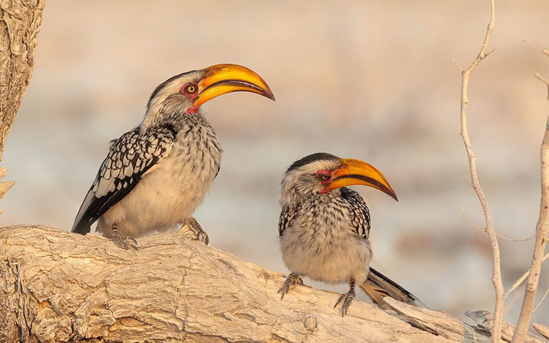 Two Southern Yellow-billed Hornbil